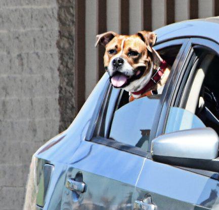 Koira autossa