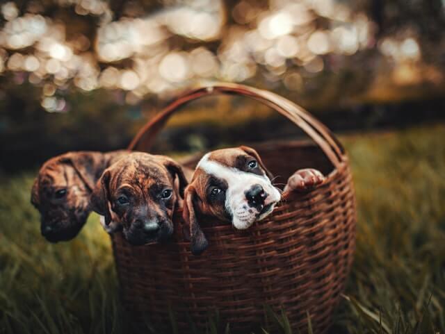 Söpöt-koiranpennut